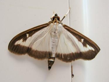 Cydalima Perspectalis - Box Tree Moth