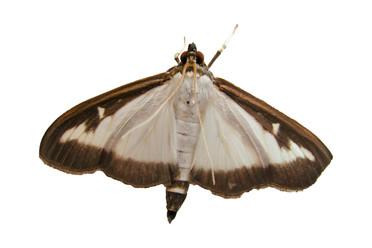 Heathrow biodiversity - Box Tree Moth